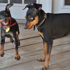 Our min pin dogs Journey and Tesla