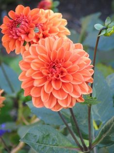 coral dahlias for bouquets