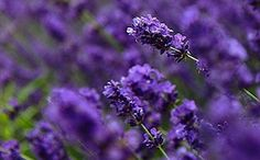 Respirez la Provence sur les routes de la lavande