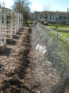 Chicken tunnel at the fence line can help with insect & weed control for the whole garden