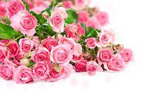 rose screensavers backgrounds (Hollis Edwards 5063x2847)