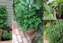 17 Best Climbing and Vining Vegetables for Containers You Can Grow Vertically