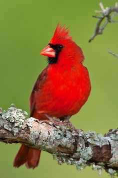 Cardinal North Carolina's state bird -- I just wanted to put this bird on it. Pretty Birds, Beautiful Birds, North Carolina Homes, Carolina Usa, State Birds, Cardinal Birds, Wild Birds, Bird Watching, Beautiful Creatures