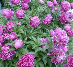 Indiana- The peony (Paeonia) was adopted as the state flower by the 1957 General Assembly (Indiana Code 1-2-7). From 1931 to 1957 the zinnia was the state flower.