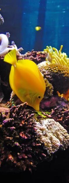 yellow tang- saltwater