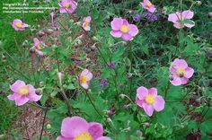 View picture of Anemone, Japanese Windflower, Japanese Anemone, Japanese Thimbleflower 'September Charm' (Anemone hupehensis) at Dave's Garden.  All pictures are contributed by our community.