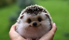 Funny pictures about Happy Hedgehog. Oh, and cool pics about Happy Hedgehog. Also, Happy Hedgehog. Cute Baby Animals, Animals And Pets, Funny Animals, Smiling Animals, Happy Animals, Wild Animals, Animals Images, Laughing Animals, Exotic Animals
