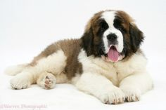 st bernard wallpaper | Saint Bernard puppy