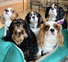 Cavalier King Spaniel, Cocker Spaniel Puppies, King Charles Spaniel, Cavalier King Charles, Adorable Animals, Wolves, Pet Birds, Puppy Love, Doggies