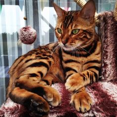 Fabulous Bengal Cat Photos That Look Like Tigers The Bengal is a domestic cat breed developed to look like exotic jungle cats such as leopards, ocelots, margays and Cute Cats And Kittens, I Love Cats, Crazy Cats, Kittens Cutest, Cool Cats, Ragdoll Kittens, Tabby Cats, Funny Kittens, Kitty Cats