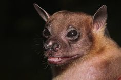 dyak fruit bat