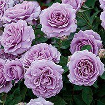 Love Song Floribunda Rose | Floribunda Roses | Edmunds' Roses