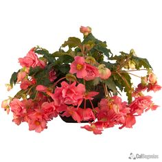 AmeriHybrid® Salmon Hanging Basket Begonias | CalBegonias.com