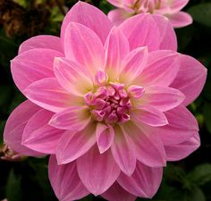 Dahlia?? I'm not sure, but it's purty!