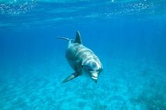 Dolphins get high on pufferfish toxin | I Fucking Love Science Now that's a lot of things I don't know about what Dolphins do