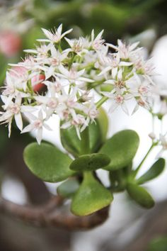 The jade plant (Crassula ovata) is a popular succulent with small, star-shaped flowers appearing in the winter.  Columbus Dispatch