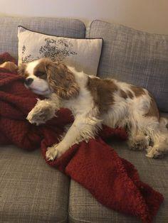 'I'm not moving!' Summer the Cavalier King Charles Spaniel #CavalierKingCharlesSpanielPuppy