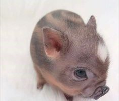 via: pigsareawsm – Stella - Baby Animals Cute Baby Pigs, Baby Animals Super Cute, Cute Piglets, Cute Little Animals, Cute Funny Animals, Baby Animals Pictures, Cute Animal Pictures, Cute Puppies, Cute Dogs