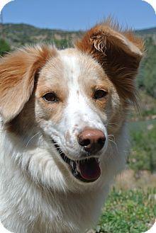 Durango, CO - Australian Shepherd Mix. Meet Maddie, a dog for adoption. http://www.adoptapet.com/pet/16383573-durango-colorado-australian-shepherd-mix