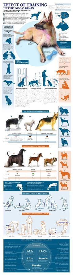Effect Of Training In The Dog Brain Infographic: German Shepherds are some of the easiest to train!
