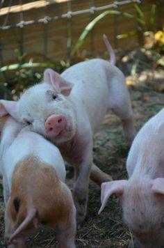 Three little pigs! Three little pigs! Cute Creatures, Beautiful Creatures, Animals Beautiful, Beautiful Babies, Cute Baby Animals, Farm Animals, Baby Pigs, Baby Goats, Baby Lamb