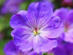 Cranesbill, Flower Blossom, Blue pixabay.com