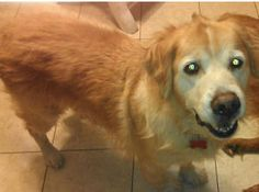 FLORIDA ~ This is Toby 11 yrs He is an owner surrender due to economic circumstances. He has a skin fungus that makes the fur on his tail & rear legs sparse - but it is being treated and already growning back. He gets along with other dogs & kids, is neutered, potty trained, has good house manners and rides well in a car. Toby's tail never stops wagging - he's a happy boy. He is looking for a forever home and is at GREAT Rescue of NE Florida.