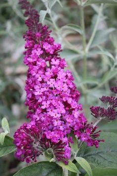 Pink Deligh Buddleja Davidii, Plants, Pink, Hot Pink, Plant, Pink Hair, Butterfly Bush, Planting, Planets