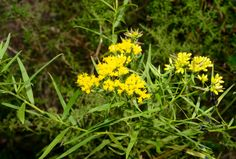 Flat-topped Goldenrod (Euthamia caroliniana) wildflower, groundcover, wildlife attractor