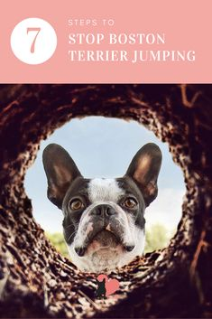Does your Boston dig like a maniac? Digging is a common behaviour problem for Boston Terrier owners. Discover why and how to stop Boston Terrier digging. Boston Terrier Temperament, Boston Terriers, Kids Sandbox, Homemade Dog, Dog Behavior, Dog Training Tips, Dog Friends, Best Dogs, Your Dog