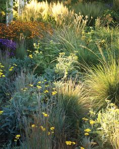 Pale-yellow 'Moonshine' yarrow with backlit Korean feather reed grass and 'Little Bluestem' grass.