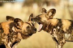 Wild dogs by Kevin Lucke.