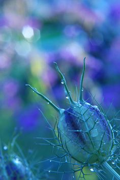 Nigella damascena / ニゲラ by poesie, via Flickr