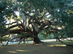 Live Oak Tree on Cumberland Island (love it there).