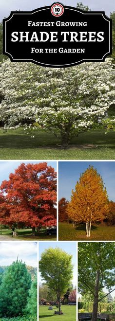 7 Live Tree Cuttings GROW YOUR OWN Sassafrass Trees