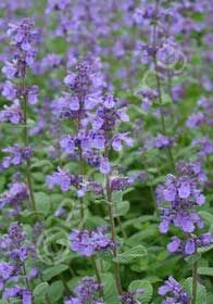 Nepeta 'Joanna Reed', 3-8, Full Sun, 3'x3', tolerates some drought, Purple Blooms summer into late fall, do not fertilize or stems will flop,does not need shearing to stay tidy,  introduced by David Culp at Sunny Border Nursery.
