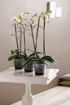 The orchid is, and always will be, immensely popular. The orchid loves the brussels orchid pot. The raised base ensures optimum aeration and drainage for the orchid's roots. Style and practicality in one! #elho #orchid #home #indoor #elhofeeling #brussels #enjoy