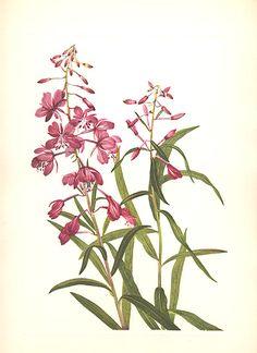fireweed botanical - Google Search