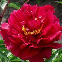 "Hollingsworth Peonies - ""Maestro"" Bloom Week 6, Semi-double to Double, L"
