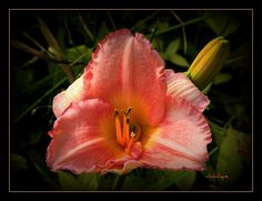 Salmon Colored Day Lily by clickclique, via Flickr