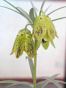 Fritillaria yuzhongensis - BeautyFlowers.org