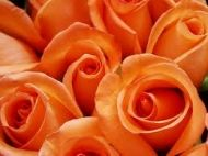 Save on Bulk Roses Online! Buy Bulk Red Roses, Pink Roses, White Roses and Wholesale Roses at BunchesDirect Beach Wedding Reception, Beach Wedding Flowers, Diy Wedding, Wedding Ideas, White Roses, Red Roses, Types Of Oranges, Bulk Roses, Wholesale Roses
