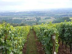 Rows of lovely Pinot noir.  Willamette Valley, Oregon