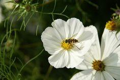 Bijtje op witte bloem