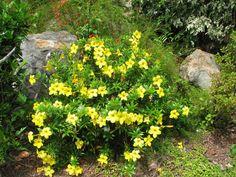 Dwarf Yellow Allamanda