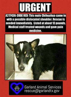 10/22/16 GARLAND, TX CODE RED!! A217430: This male Chihuahua came in with a possible dislocated shoulder. Rescue is needed immediately. Listed at about 13 pounds. Medical staff treated wounds and gave pain medicine.  EMAIL ADOPTION INTEREST/RESCUE TAGS TO RESCUE@GARLANDTX.GOV