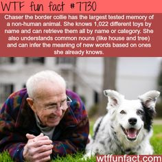 This dog has the largest memory of a non-human animal - WTF fun facts You will find the most interesting facts about dogs on my account. I Love Dogs, Puppy Love, Cute Dogs, Animal Facts, Animal Memes, Dog Facts, Animal Fun, Wtf Fun Facts, Random Facts