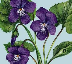 The Purple Violet, the Provincial flower of New Brunswick
