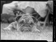 Bulldog by Boston Public Library, via Flickr