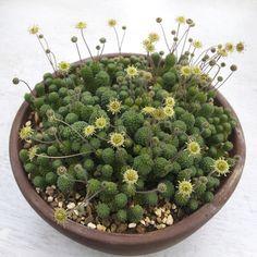 温室の中で Monanthes polyphylla (基本種)が一斉に咲き出しました。 加温温度がちょうど良いのか現在も順調に育っていて次々と分頭して増えています。